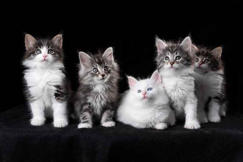 Noorse Boskatten kittens, liggend en zittend