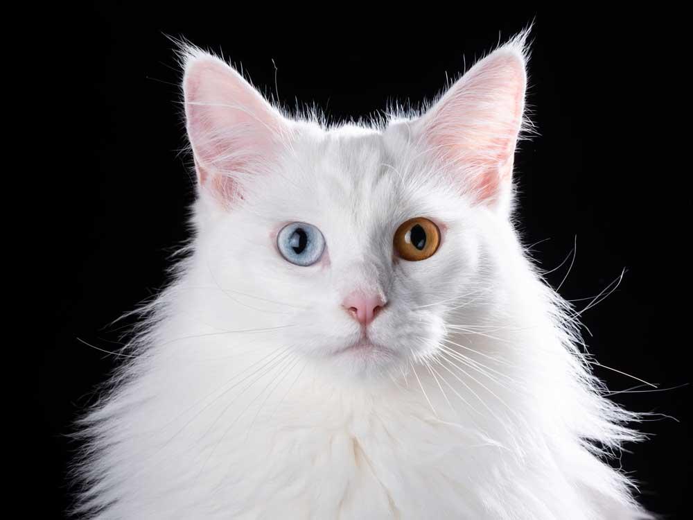 witte Maine Coon 2 verschillende ogen