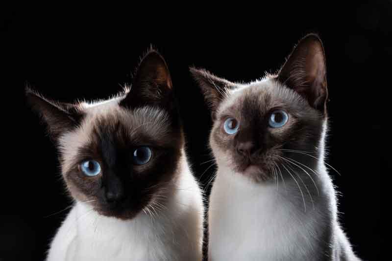 portretten van twee Siamezen Max en Molly