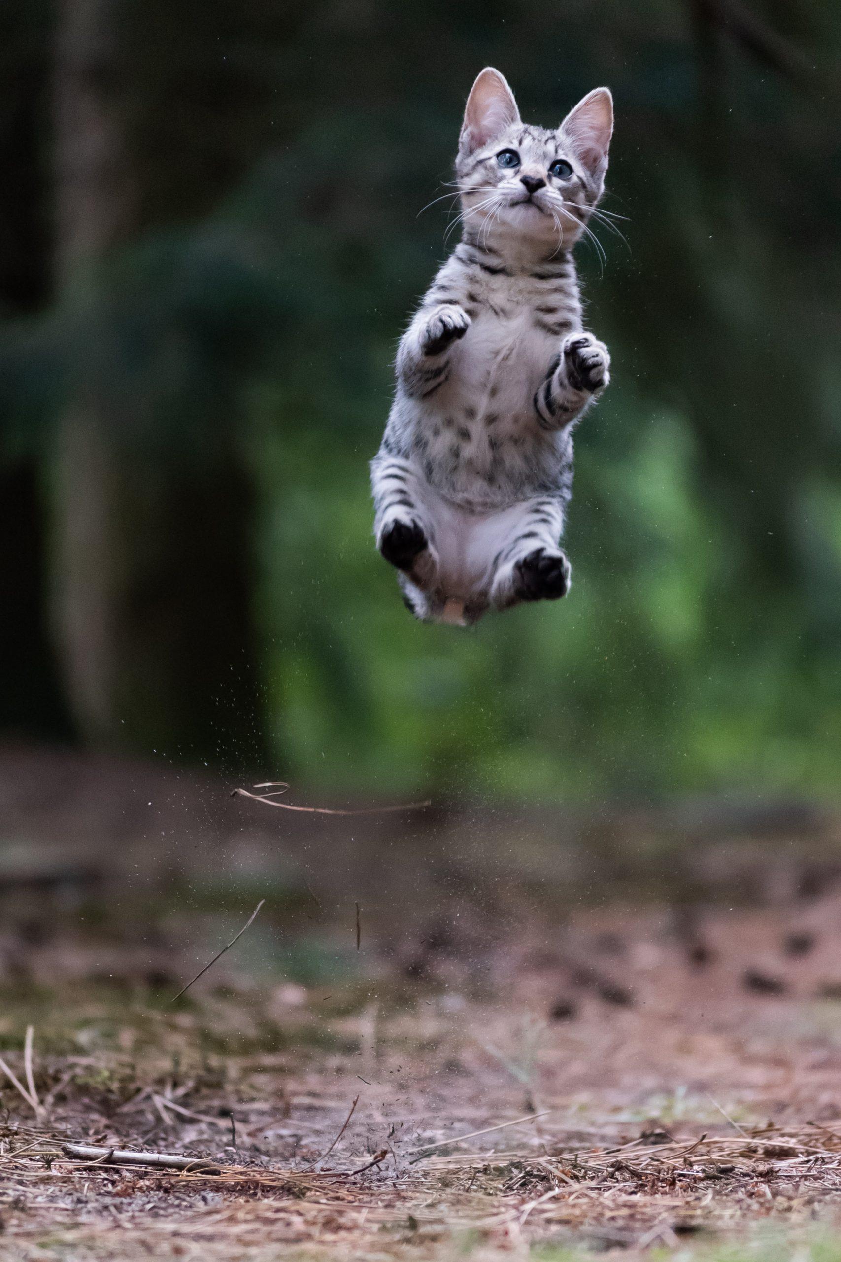 kat springen met de pootjes naar voren