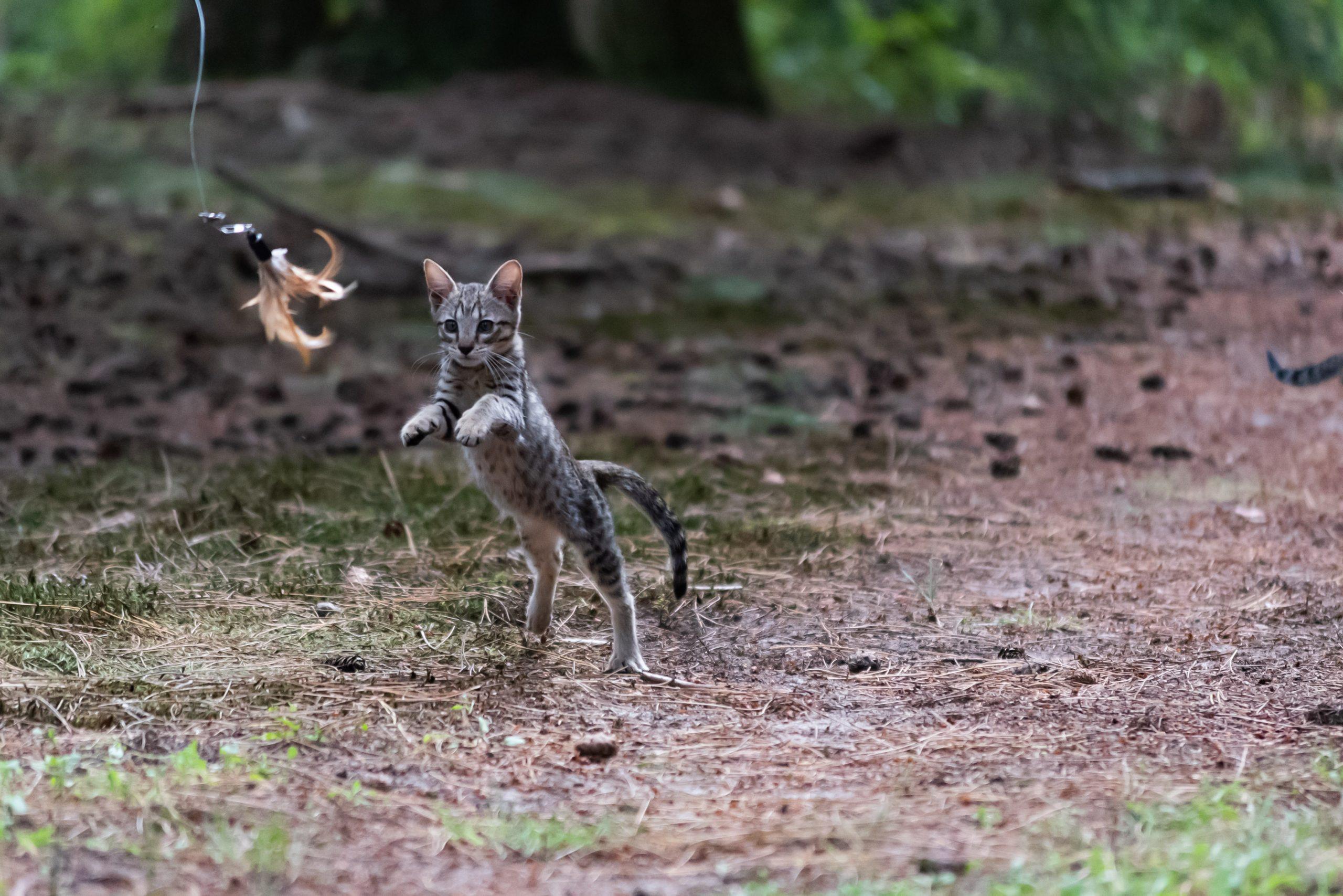 springende kat met speeltje
